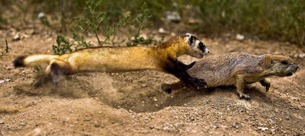 Black-footed_Ferret_Learning_to_Hunt