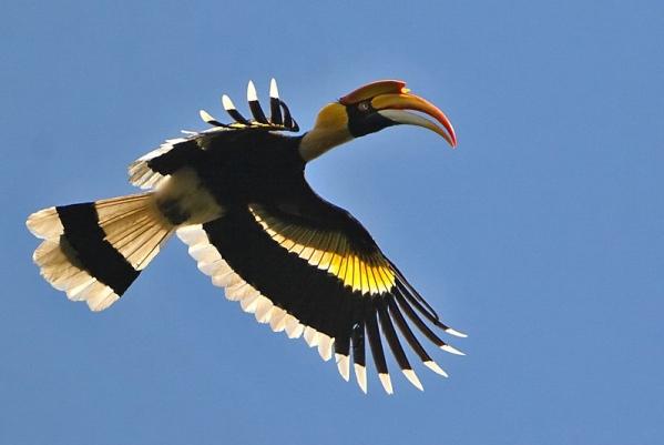 Great-Hornbill-nepal-trekking-mountains-aventure-himalayas